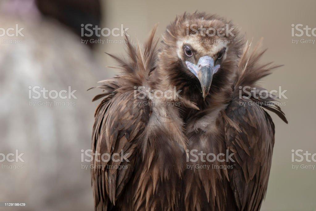 Cinereous Vulture Birds Animal