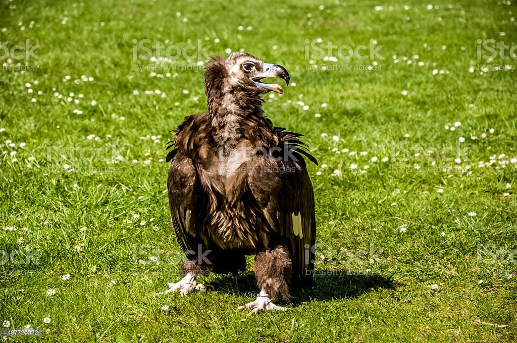 Cinereous vulture on the green grass stock photo