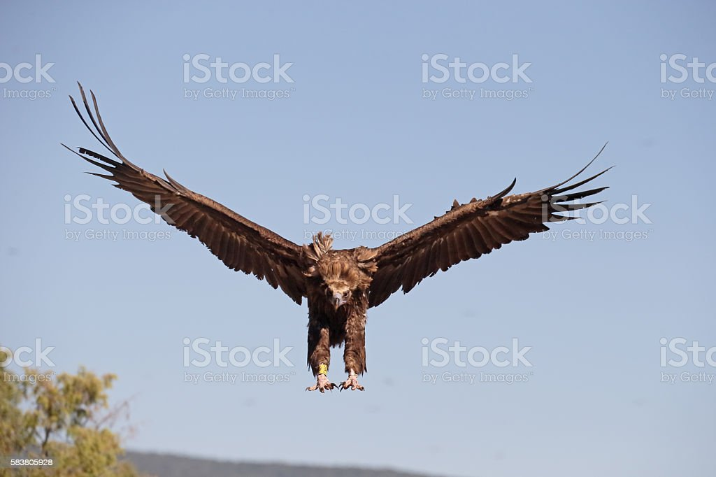 Cinereous Vulture or Black vulture, Aegypius monachus stock photo