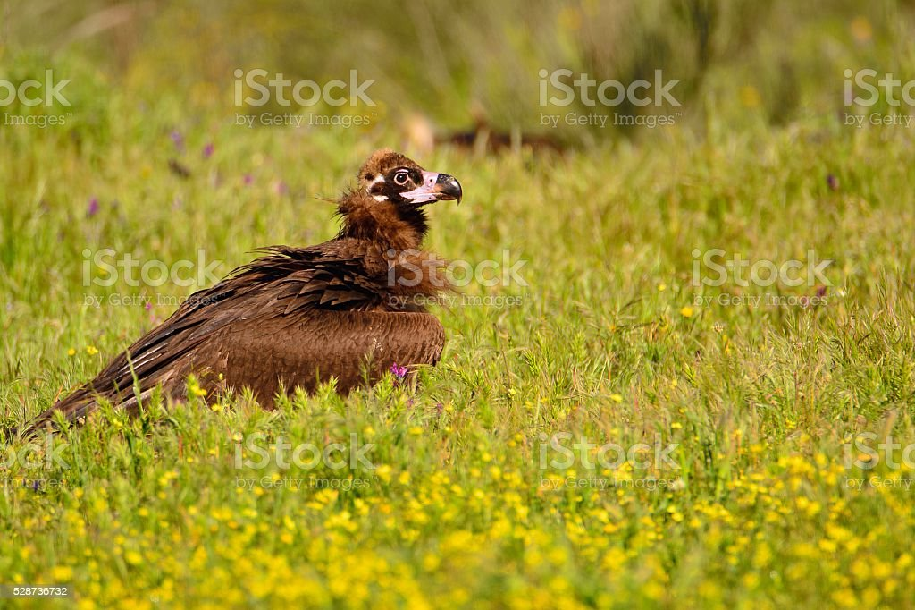 Cinereous vulture walking in grass stock photo