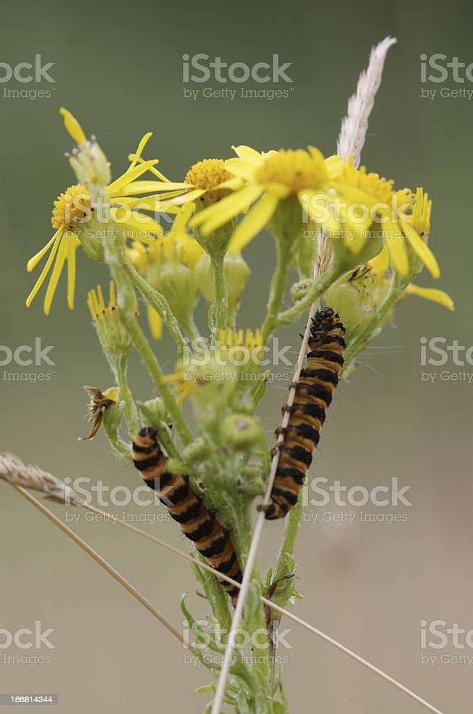 Cinnabar Moth Caterpillars on Ragwort stock photo