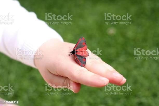 Cinnabar moth on childs hand picture id1130969211?b=1&k=6&m=1130969211&s=612x612&h=vh8blk 8uzhy7hhqrktfqvdfwjhxv0zz7c55j11bzbm=