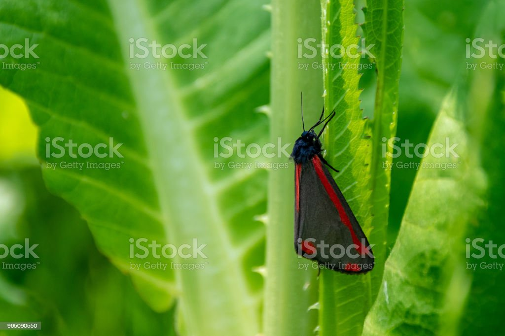 Cinnabar moth (Tyria jacobaeae) resting away from direct sunlight royalty-free stock photo