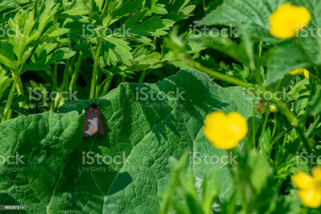 Cinnabar moth (Tyria jacobaeae) resting on green leaf royalty-free stock photo