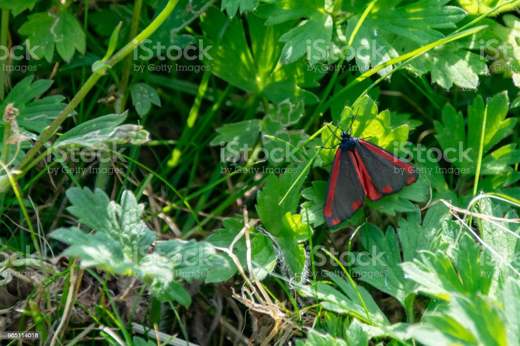Cinnabar moth (Tyria jacobaeae) resting on green leaf zbiór zdjęć royalty-free