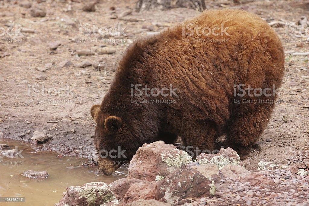 Cinnamon Black Bear Ursus americanus cinnamomum royalty-free stock photo