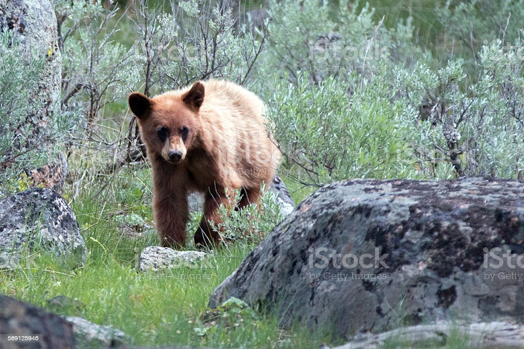 Cinnamon color Baby Cub American Black Bear (Ursus americanus) stock photo
