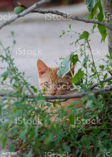 cinnamon color cat watching behind a fig tree