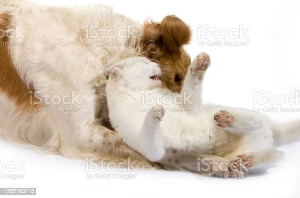 Cinnamon color french spaniel male dog and white domestic cat picture id1257183113?b=1&k=6&m=1257183113&s=612x612&h=r4u3 vaovbmeeqkoc7xmd45isntcjp5qr7nial85crs=