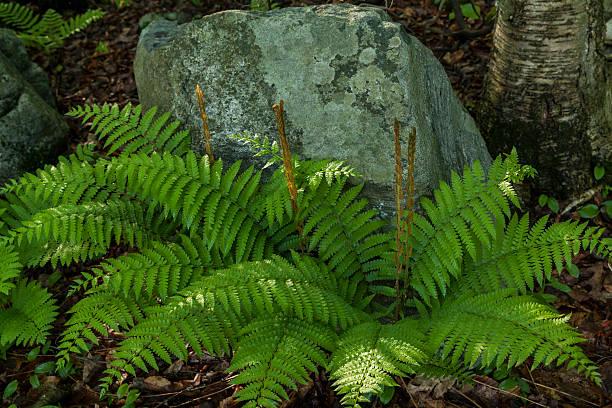 cinnamon fern stock photo