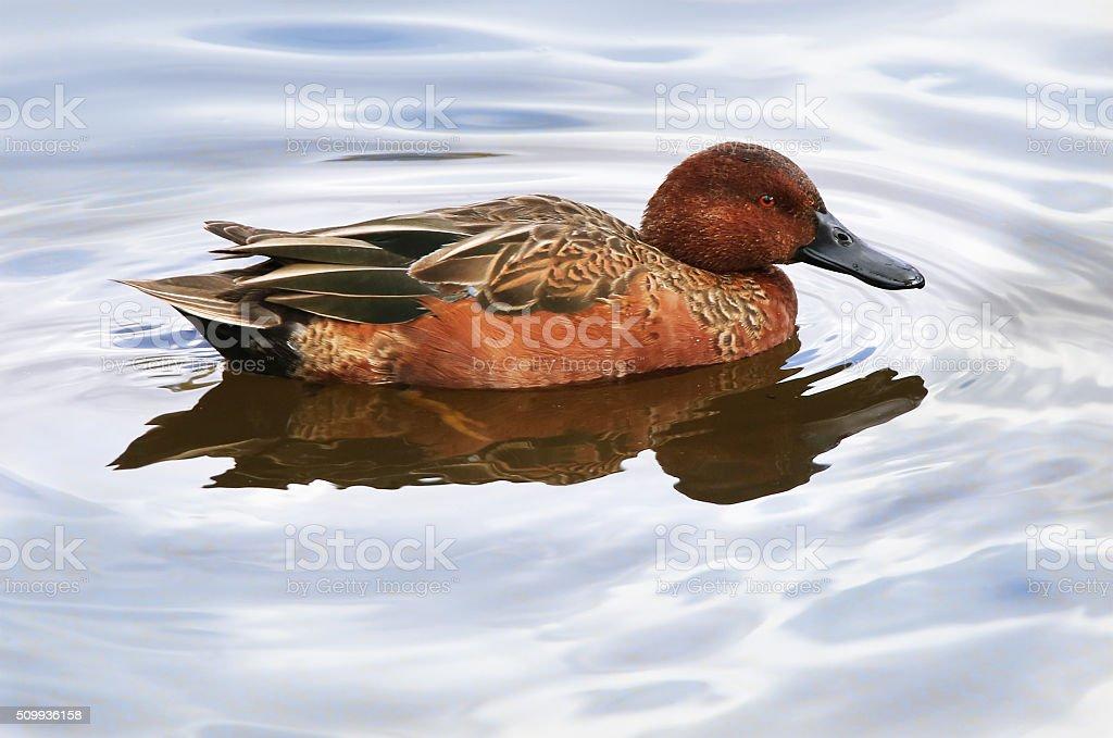 Cinnamon Teal Drake Duck stock photo