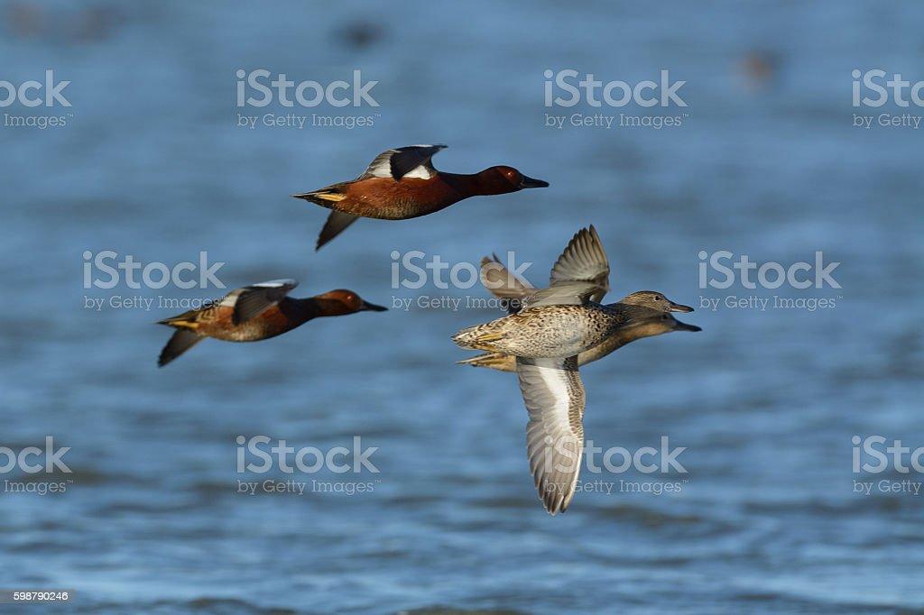 Cinnamon teal ducks flying low stock photo