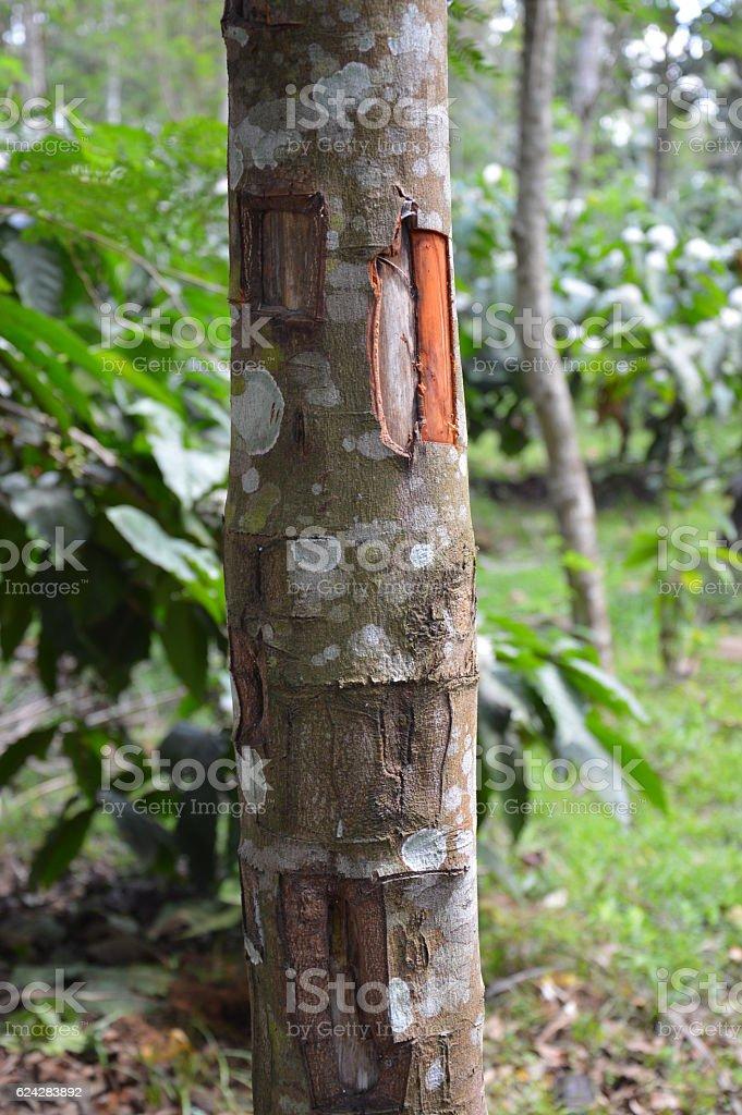Cinnamon tree stock photo