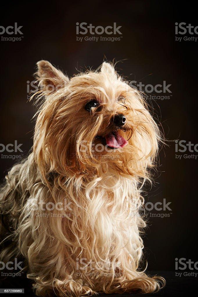 Cinnamon Yorkshire Terrier (Purebred Dog) Panting (Studio Shot, Black Background) - foto de stock