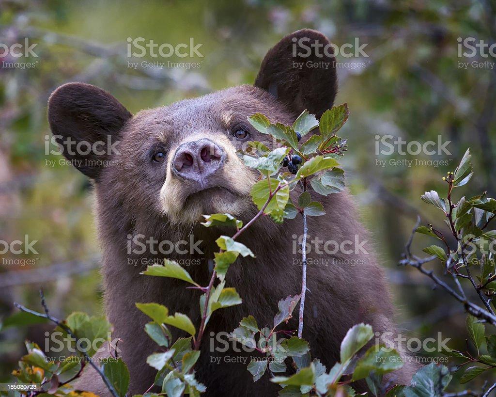 Cinnamon-colored black bear stock photo