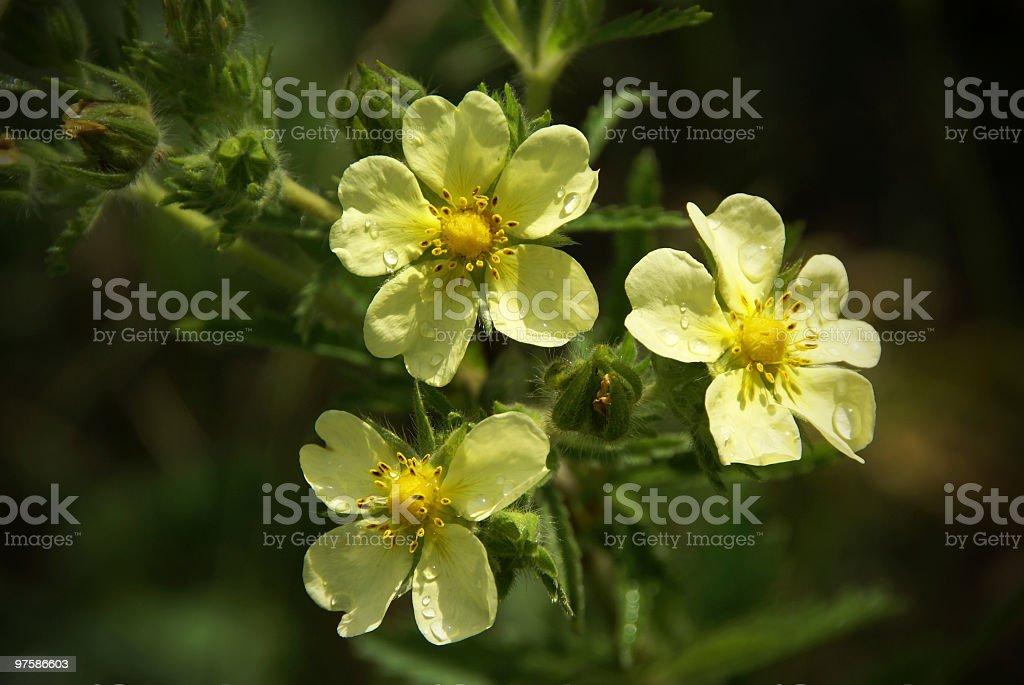Fleurs Cinquefoil après la pluie photo libre de droits
