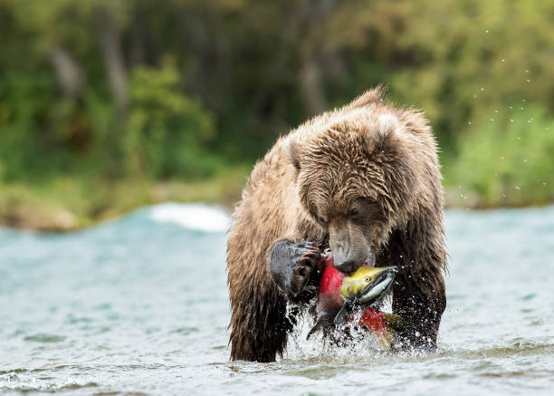 Circle of Life A Kamchatka brown bear catches a massive salmon. kamchatka peninsula stock pictures, royalty-free photos & images