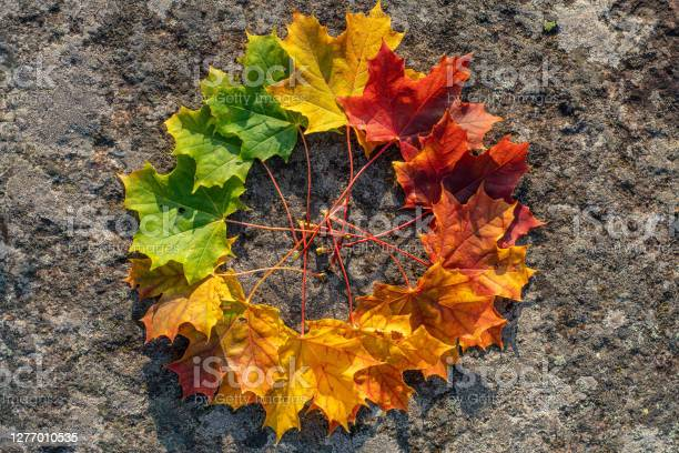 Photo of Circle of maple leaves in color tone from green to red