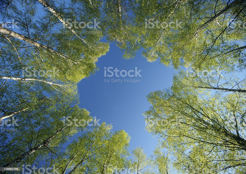 Circle of spring birches crowns royalty-free stock photo