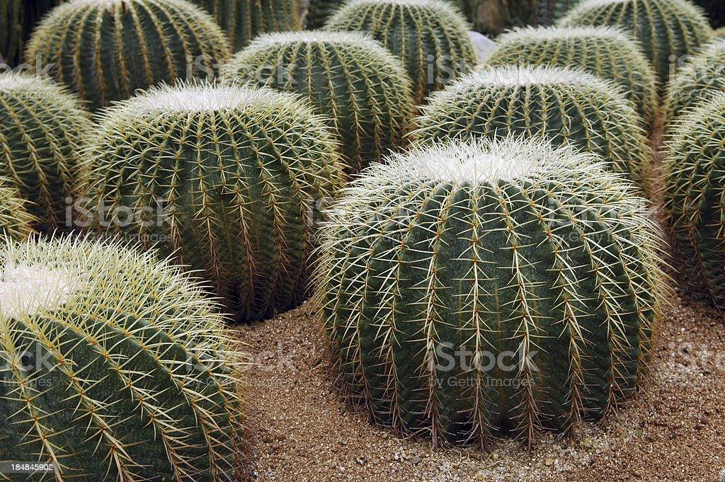Circle Shape Cactuses royalty-free stock photo