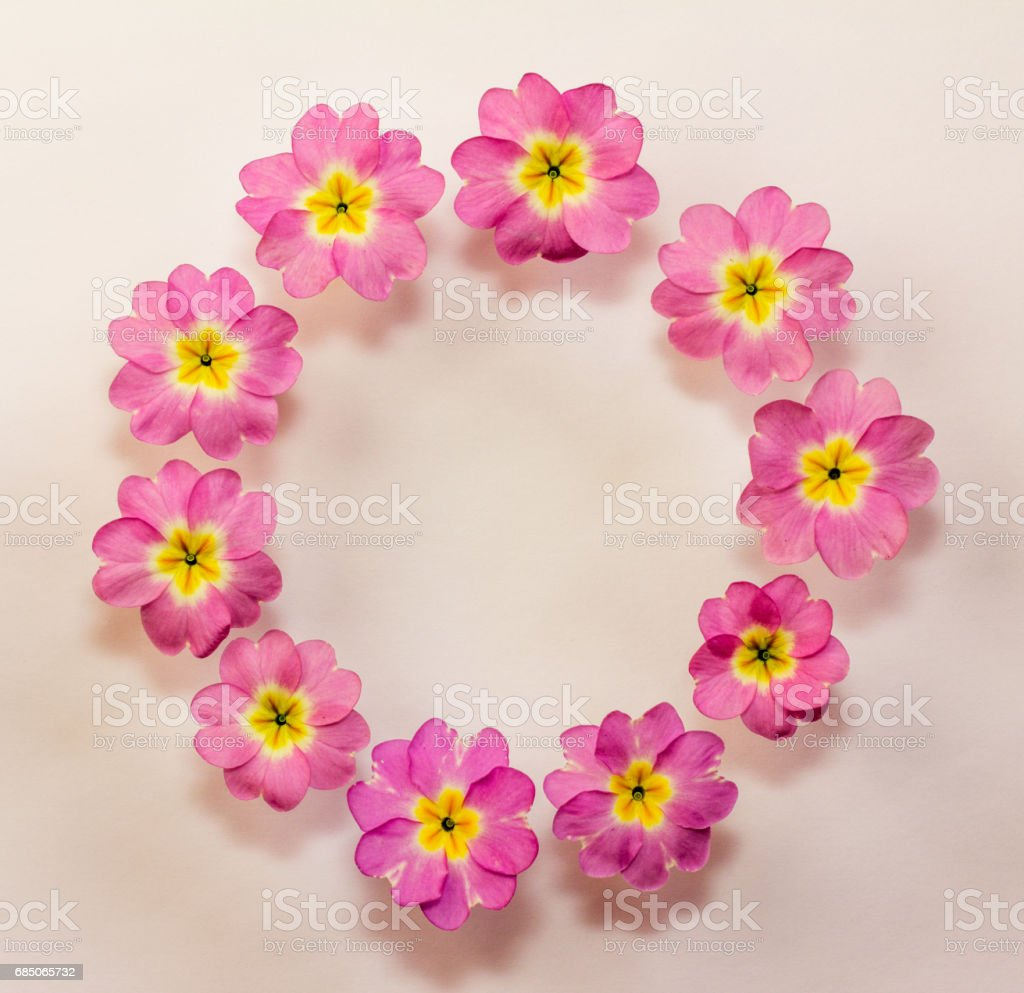circular floral frame of pink primrose flowers with space for text. Flat lay, top view royalty-free stock photo