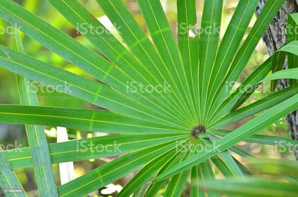 Circular ring of light colored growth on Saw palmetto leaf stock photo