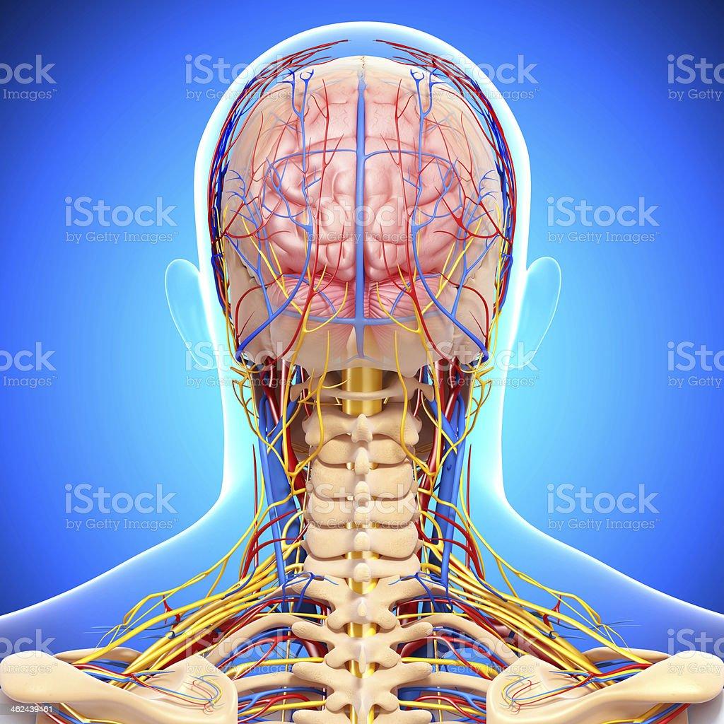 Circulatorio Y Sistema Nervioso Central - Stock Foto e Imagen de ...