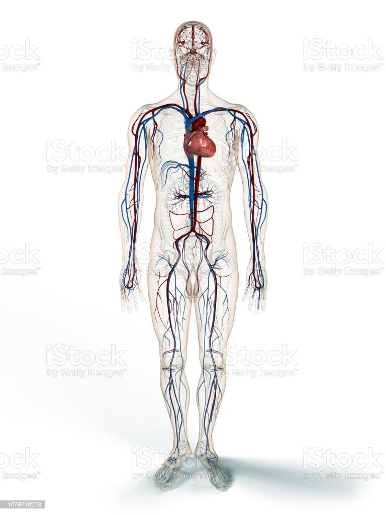 Herzkreislaufsystem 20dillustration Stockfoto und mehr Bilder von ...