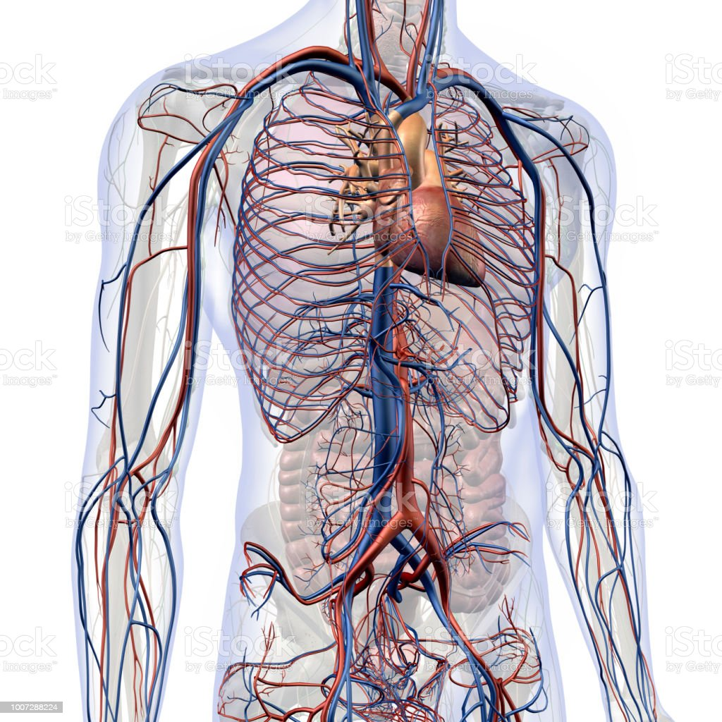 Diagram Of The Chest Circulatory System - Custom Wiring Diagram •