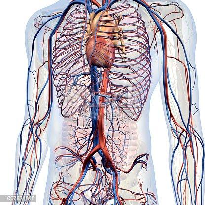 Herzkreislaufsystem Interne Anatomie In Der Männlichen Brust Und ...