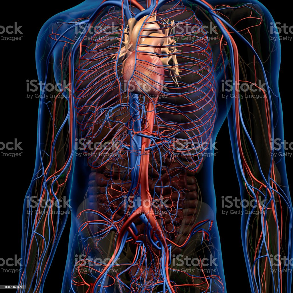 Circulatory System Internal Anatomy In Male Chest And Abdomen Stock ...