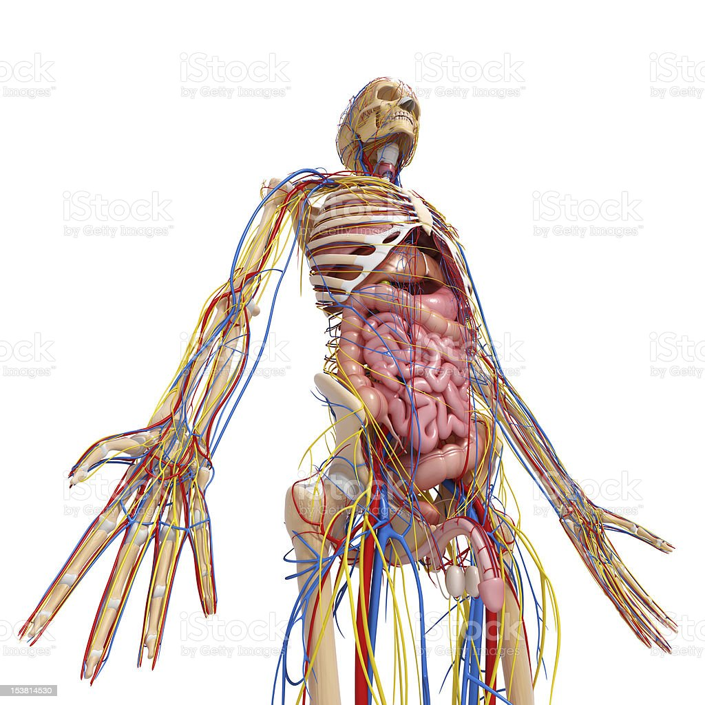 circulatory system of human body with all internal organs stock photo
