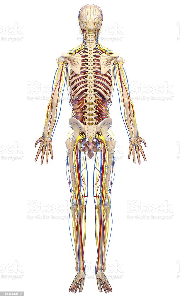 Circulatory System Of Male Back Side Full Body Stock Photo More