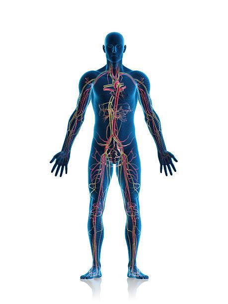 Sistema circulatório - foto de acervo