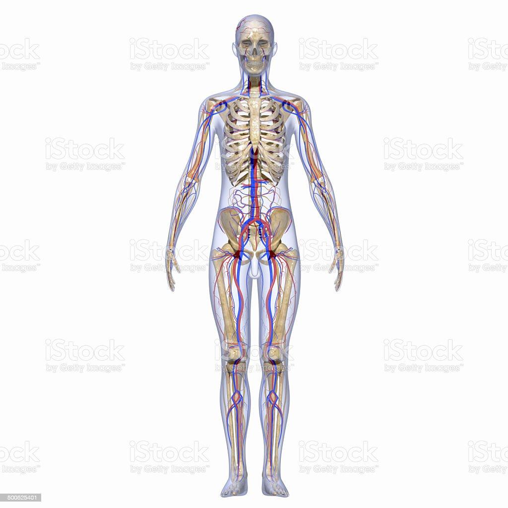 Kreislaufsystem Stock-Fotografie und mehr Bilder von Anatomie   iStock