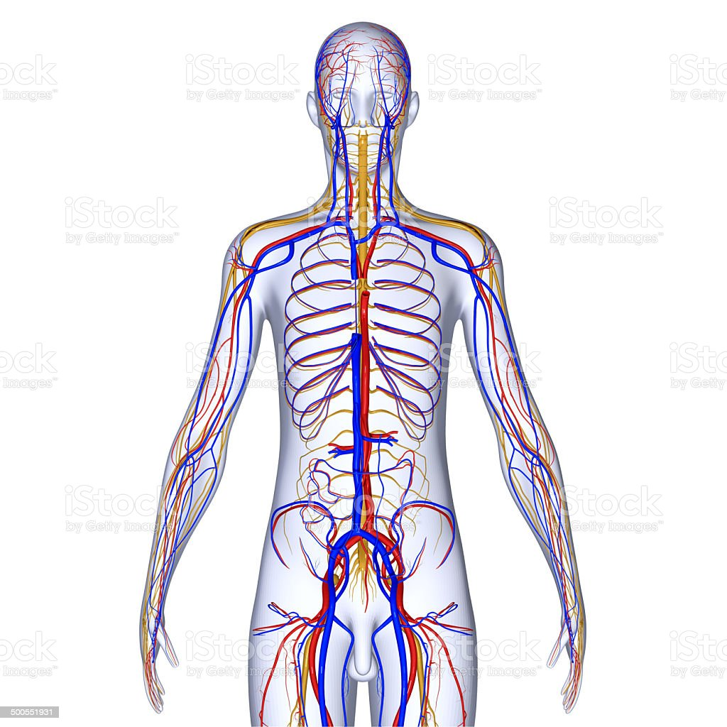 Circulatory System Stock Photo More Pictures Of Anatomy Istock