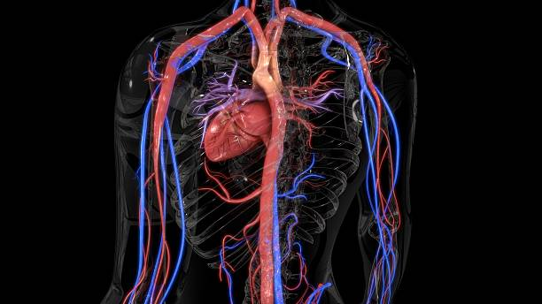 circulatory system - cardiovascular system stock photos and pictures