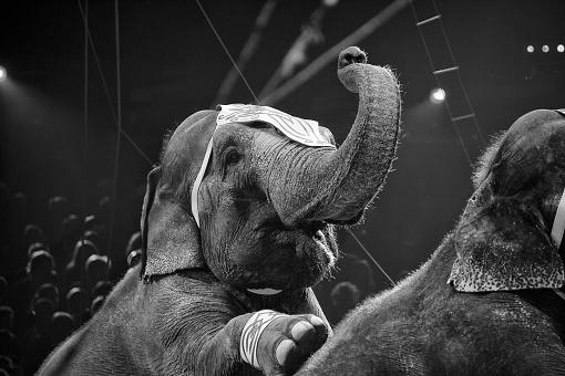 istock circus elephant on black background 534894743