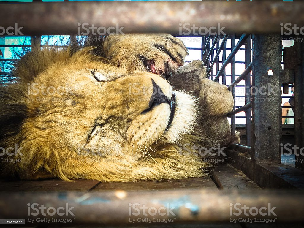 Circus lion in its cage stock photo