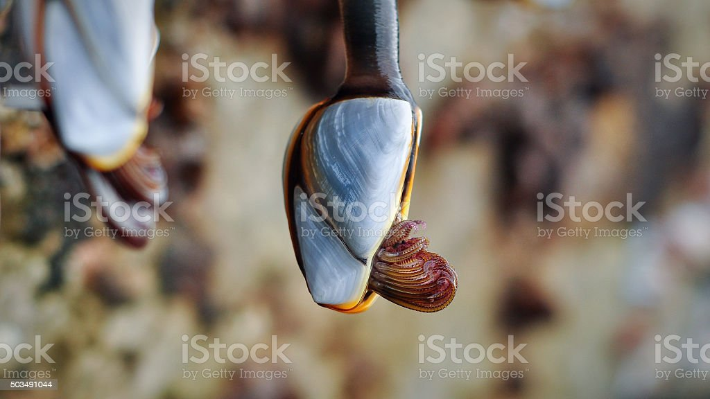 cirri of pelagic gooseneck barnacle stock photo