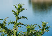 Cirsium spinosissimum plant. Green spiky leaves with blue water in the background