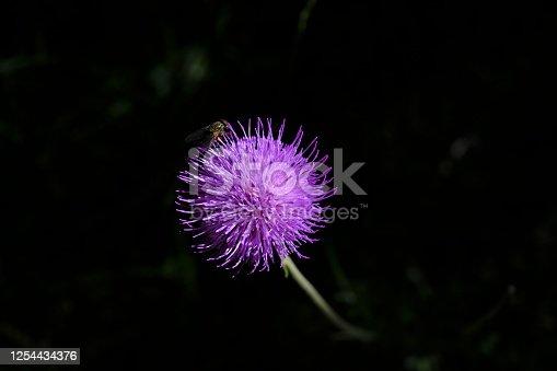 Cirsium Texanum