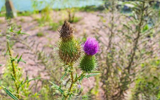 Cirsium vulgare purple flower growing in summer field. Spear or bull thistle plant is species of Asteraceae genus Cirsium