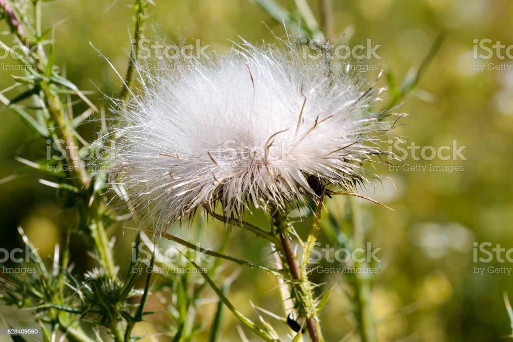 Cirsium Vulgare Thistle Seeds stock photo