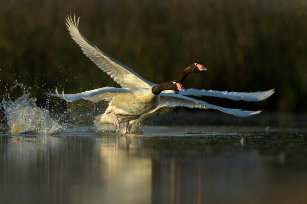 Cisne cuello negro stock photo