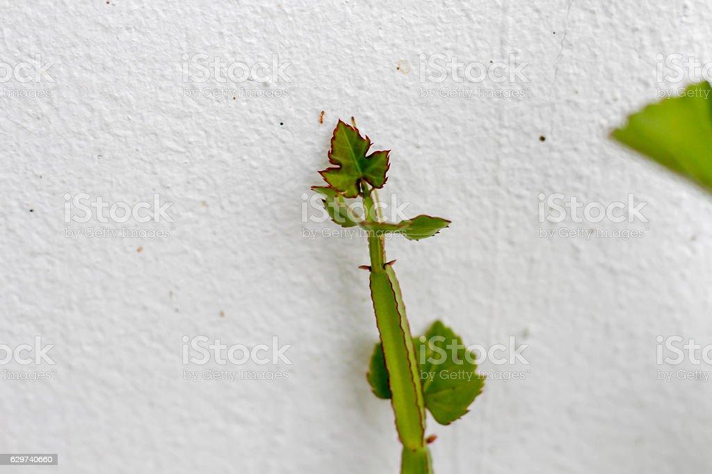 Cissus quadrangularis stock photo