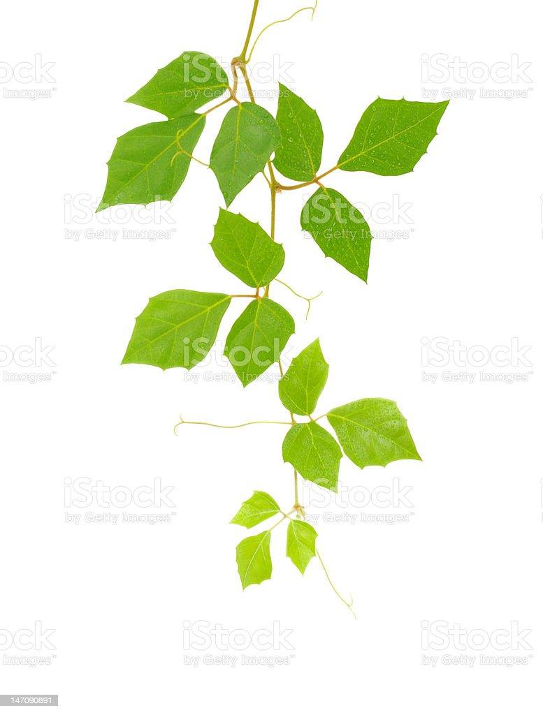 cissus rhombifolia brunch on white royalty-free stock photo