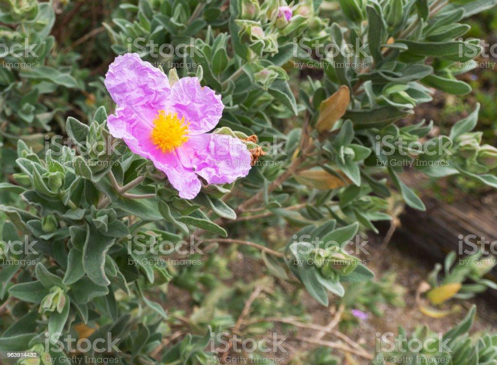 Cistus albidus - Royalty-free Blossom Stock Photo