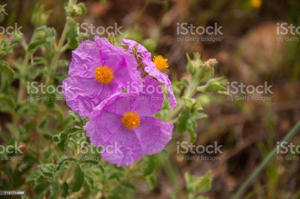 Cistus creticus, pink rock rose, medical plants Cistus creticus, pink rock rose, medical plants Beauty Stock Photo