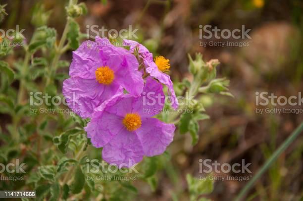 Cistus Creticus Pink Rock Rose Medical Plants Stock Photo - Download Image Now